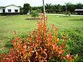 Bunga pucuk merah (35).JPG