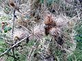 Burdock (Arctium lappa) seed head, River Ayr, Overmills, Scotland.jpg