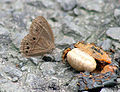 Bushbrown I IMG 5457.jpg