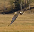 Buteo regalis Grand Teton 1.jpg