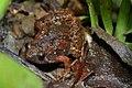 Butler's Pygmy Frog (Microhyla butleri) 粗皮姬蛙3.jpg