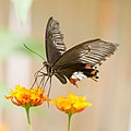 Butterfly ^2 (explored) - Flickr - Edward Dalmulder.jpg