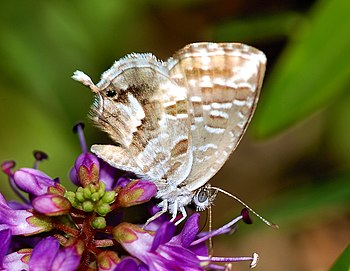 English: Butterfly on flower (Cacyreus marshal...
