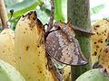 Butterfly eating banana.JPG