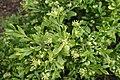 Buxus microphylla kz03.jpg