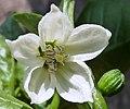 C.annuuum-flor-italiano-1.jpg