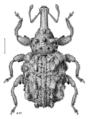 COLE Curculionidae Bantiades 1.png