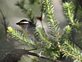 CSIRO ScienceImage 3555 Striated Pardalote Jamieson Victoria.jpg