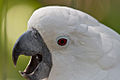Cacatua alba -St Augustine Alligator Farm Zoological Park, Florida, USA -head-8a.jpg