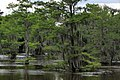 Caddo lake trees.jpg
