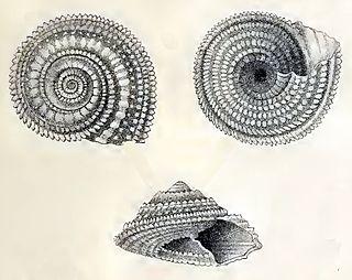 <i>Calliotropis pulchra</i> species of mollusc