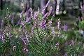 Calluna vulgaris fleurs.jpg