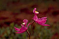 Calopogon tuberosus - wild pink orchid.jpg