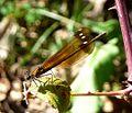 Calopteryx haemorrhoidalis. Copper Demoiselle. Female - Flickr - gailhampshire (2).jpg