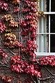 Cambridge - Japanese Creeper - 1305.jpg