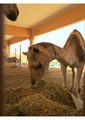 Camel.pdf