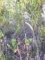 Camelina microcarpa (3750290217).jpg