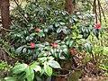 Camellia japonica var. decumbens 3.JPG