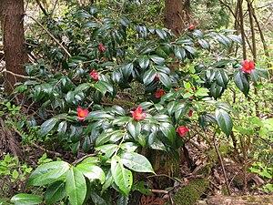 Camellia japonica - C. japonica var. rusticana in the wild, Aizu area, Fukushima pref., Japan