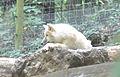 Canis lupus arctos in a cage.jpg