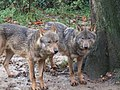 Canis lupus signatus (Kerkrade Zoo) 43.jpg