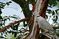 Cape Turtle Dove (Streptopelia capicola) (17204757269).jpg