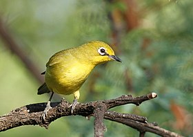 Cape White-eye, Zosterops pallidus, at Pilanesberg National Park, Northwest Province, South Africa (15868497670).jpg
