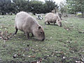 Capybara-at-wwp.jpg