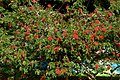 Carbonero rojo (Calliandra hematocephala) (14516440750).jpg