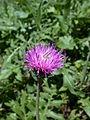 Carduus defloratus flower.jpg
