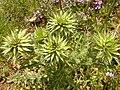 Carduus nutans 2.jpg
