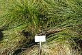 Carex arenaria - Bergianska trädgården - Stockholm, Sweden - DSC00545.JPG