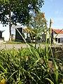 Carex hirta sl3.jpg