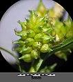 Carex oederi sl21.jpg