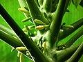 Carica papaya at Kadavoor.jpg