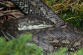 Carpet Python - Andrew Mercer - DSC07078.jpg