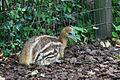 Casuarius casuarius -Artis Zoo, Netherlands -chick-8b.jpg