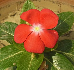 https://upload.wikimedia.org/wikipedia/commons/thumb/6/6d/Catharanthus_roseus-Red_flowers_of_Madagascar_Periwinkle_2.JPG/254px-Catharanthus_roseus-Red_flowers_of_Madagascar_Periwinkle_2.JPG