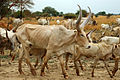 Cattle in Nile basin.jpg