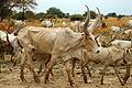 Cattle in Nile basin.jpg