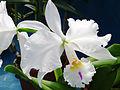 Cattleya warneri forma semi-alba.jpg