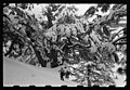 Cedars of Lebanon in snow LOC matpc.22650.jpg