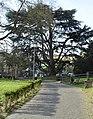 Cedro del Libano - Parco Massari (Ferrara) 0.jpg