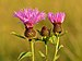 Centaurea phrygia - Keila.jpg