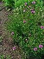 Centaurea stoebe 001.JPG