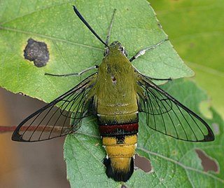 <i>Cephonodes hylas</i> species of insect