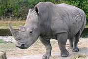 This White Rhinoceros is actually gray.  The White in this species' name is from the Afrikaans word wyd which means wide. It refers to the White Rhinoceros's wide lip compared to the Black Rhinoceros's pointed lip. The original meaning was subsequently lost in translation.