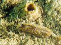 Cerberilla affinis.jpg