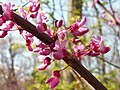 Cercis canadensis, 2015-04-29, Bird Park, Mount Lebanon, Pennsylvania, 01.jpg