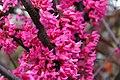 Cercis canadensis Appalachian Red 1zz.jpg